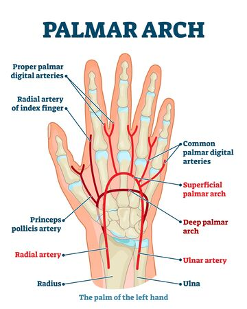 Palmar arch anatomical vector illustration diagram. Palm blood vessel system. Proper palmar digital arteries, radial artery of index finger, also ulnar and radial arteries. Health care labeled guide.