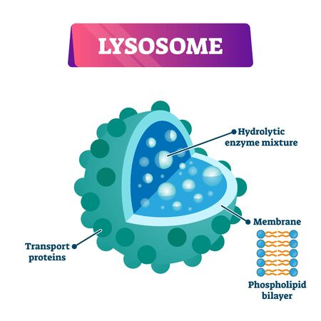 Lysosome cell organelle vector illustration labeled cross section diagram. Destroying invading viruses and bacteria. Part of the immune system. Transport proteins, membrane and enzyme mixture example.