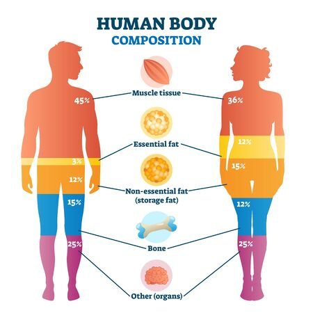 Human body composition infographic, vector illustration diagram. Percentage proportions for muscle tissue, essential fat, non-essential fat or storage fat, bones and other. Healthy life information. Ilustracja