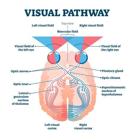 Diagramme d'illustration vectorielle médicale de voie visuelle. Système anatomique des yeux et du cerveau avec nerfs optiques et cortex visuel. Schéma d'explication de la vision humaine éducative avec champs visuels et binoculaires.