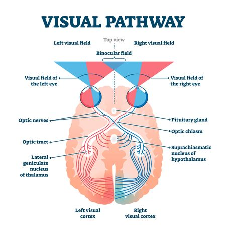 Visual pathway medical vector illustration diagram. Eye and brain anatomical system with optic nerves and visual cortex. Educational human vision explanation scheme with visual and binocular fields.
