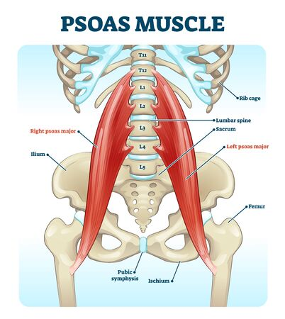Psoas muscle medical vector illustration diagram. Lumbar spine and psoas major attached from discs to femur bones. Hip pain problem and hurting lower back. Fitness or chiropractic therapy information.