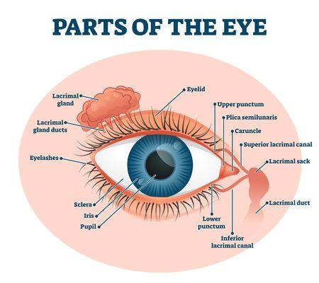 Parts of the eye, labeled vector illustration diagram. Educational beauty and nursing information. Eyelid, eyelashes, pupil, lacrimal gland and other anatomical parts. Healthy visual sensory organ.