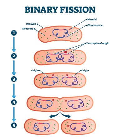 Binary fission process, vector illustration diagram. Labeled cell reproduction division stages scheme. Biology science educational information. Ribosome,cell wall,plasmid and chromosome copying steps.
