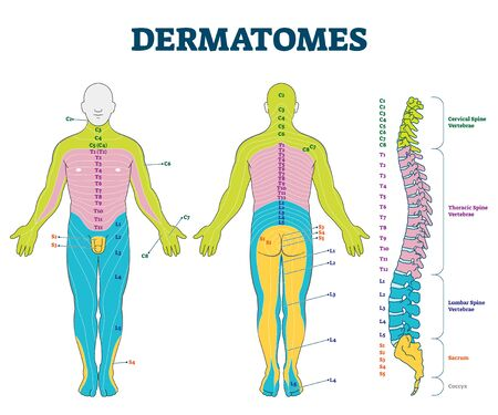 Dermatomes vector illustration. Labeled educational anatomical skin parts scheme. Epidermis area supplied by afferent spinal nerve fibers. Cervical, thoracic, lumbar and sacral nerves division diagram