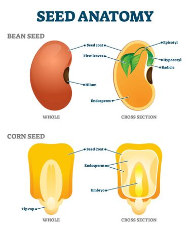 Seed anatomy vector illustration. Labeled educational botany structure scheme with bean and corn reproductive parts. Closeup model description with hilum, epicotyl, hypocotyl, radicle and endosperm.