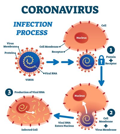 Coronavirus infection process educational explanation vector illustration. Labeled closeup process with covid-19 and human cell scheme. Medical anatomical steps for toxic heath danger from microscope.