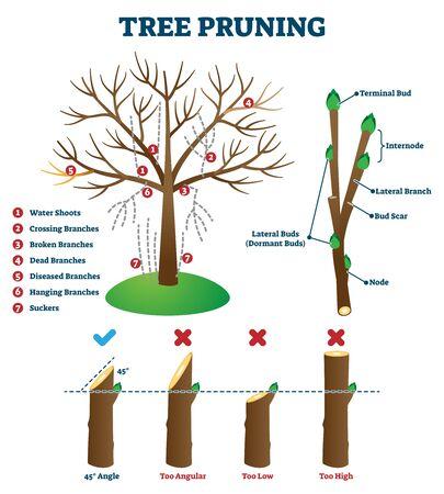 Illustration vectorielle de l'élagage des arbres. Schéma de mise en forme des plantes éducatives labellisées. Explication avec la méthode correcte de coupe de branche et les erreurs. Schéma biologique avec structure des branches et motifs de suppression.
