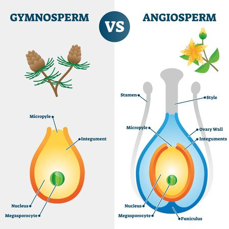 Gymnosperm vs angiosperm vector illustration. Labeled educational scheme with plants fertilization style and differences. Pine versus flower diagram and inner inside structure explanation graphic.