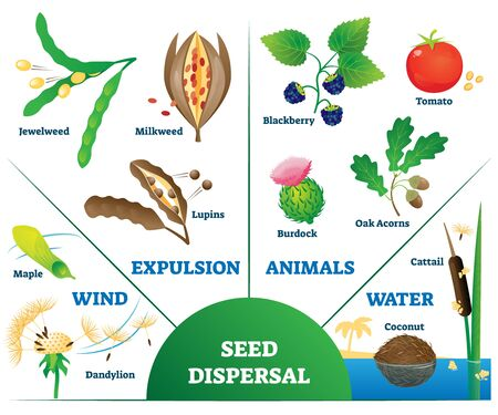 Seed dispersal vector illustration. Labeled plant movement and division scheme with examples. Botany spreading method collection with wind, expulsion, animals and water from species demographic aspect