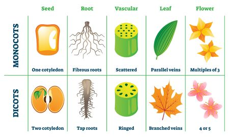Monocots and dicots vector illustration. Labeled plant comparison division scheme. Educational graphic with seed, root, vascular, leaf and flower differences from botany aspect. School biology handout