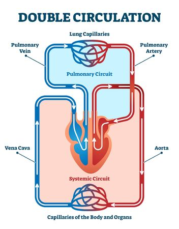 Double circulation vector illustration. Labeled educational blood route scheme. Lung capillaries, pulmonary artery, aorta, vein and vena cava diagram. Anatomical physiological cardiovascular scheme.