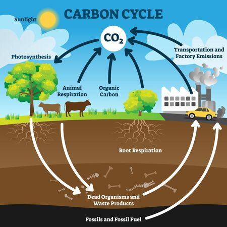 Carbon cycle vector illustration. Labeled CO2 biogeochemical process scheme. Educational exchange diagram with animal respiration, photosynthesis, transportation and factory emissions and fossil fuel. Vector Illustration