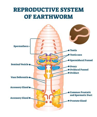 Reproductive system of earthworm vector illustration. Labeled educational scheme with anatomical worm structure. Ground soil organism diagram with spermatheca, seminal vesicle, testis sacs and ovary. Vector Illustration