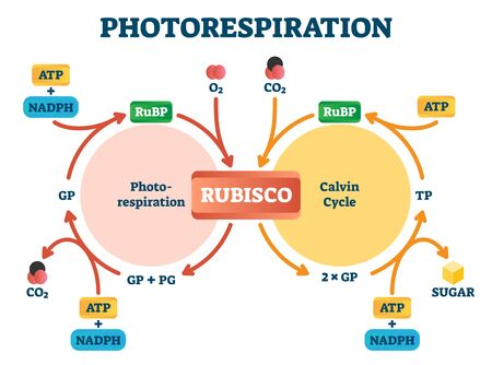 Photorespiration vector illustration. Labeled photosynthesis education scheme. Diagram with oxidative photosynthetic carbon cycle. Rubisco, photorespiration and Calvin cycle explanation infographic.