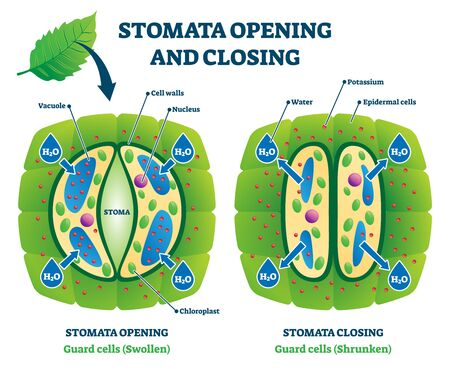 Stomata opening and closing vector illustration. Labeled biological plant cells educational scheme. Stomatal pore swollen and shrunken comparison and closeup examples. Gas exchange control system.