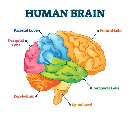 Human brain vector illustration. Labeled anatomical educational head organ parts scheme separated by colors. Diagram with parietal, frontal, occipital and temporal lobe, spinal cord and cerebellum.