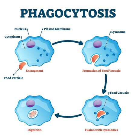 Phagocytosis vector illustration. Labeled endocytosis educational scheme. Cycle with entrapment, vacuole formation, lysosomes fusion and digestion process. Educational immune system mechanism closeup. Vetores