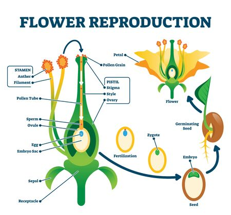 Flower reproduction illustration. Labeled process of new plants scheme. Educational diagram with stamen and pistil structure and full egg development and fertilization stages from ovule to seed