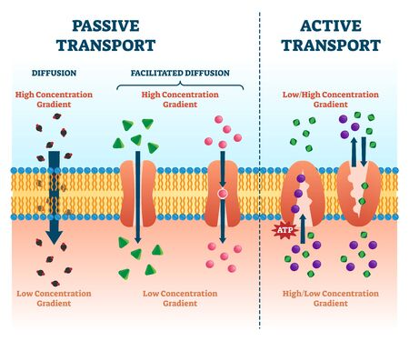 Active vs passive transport illustration. Labeled educational cell scheme comparison. Diffusion and facilitated various concentration gradients and ATP explanation. Molecular substance movement