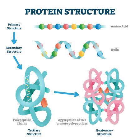 Ilustración de la estructura de la proteína. Esquema de tipos de moléculas de cadena de aminoácidos etiquetadas. Colección educativa con varios niveles de estructura primaria, hélice, polipéptido terciario y cuaternario closeup