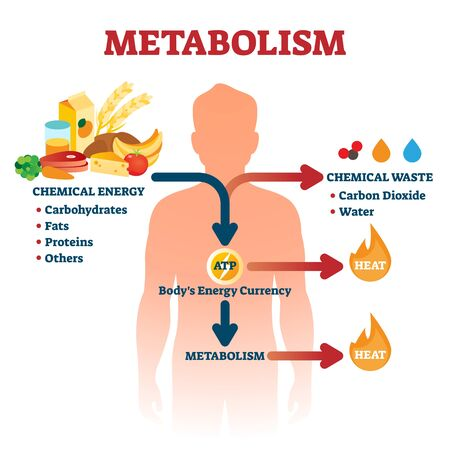 Stoffwechsel-Abbildung. Beschriftetes Bildungsprogramm für chemische Energie. Erklärungsdiagramm mit Nahrungsmittelkohlenhydrat-, Fett- und Proteinreaktionen, um ATP und Hitze zu erzeugen. Infografik zur biologischen Ernährung