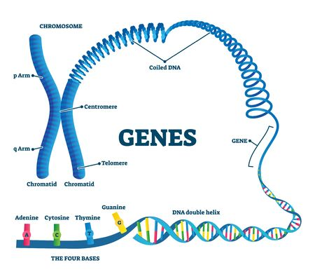 Genes illustration. Educational labeled structure example scheme. Adenine, sytosine, thumine and guanine closeup part of coiled helix DNA. Chromosome division with arms, chromatid and telomere.