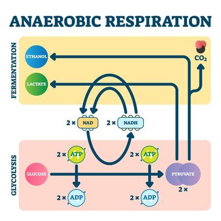 Illustration vectorielle de respiration anaérobie. Schéma de glycolyse et de fermentation comme explication de la chaîne de transport d'électrons. Schéma pédagogique du glucose et du pyruvate. Graphique de l'oxygène moléculaire comme source d'énergie