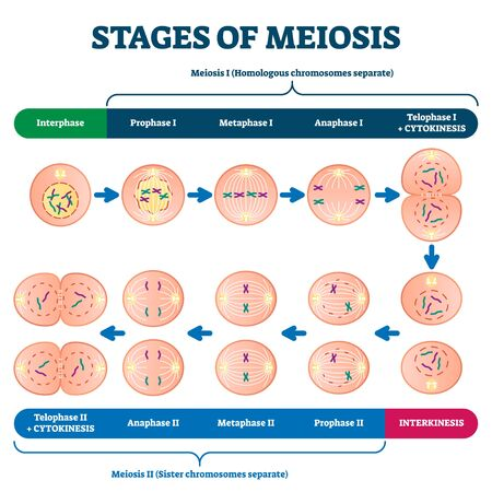 Stages of meiosis illustration. Labeled cell division process explanation scheme from genetic aspect. Interphase and interkinesis diagram with phases structural changes. Educational infographic