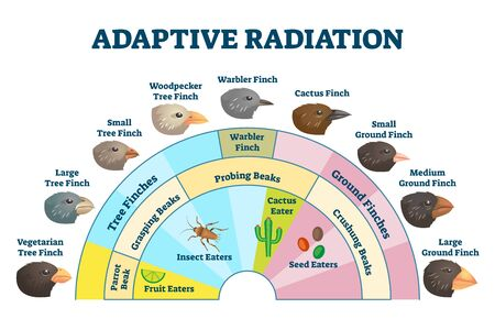 Adaptive radiation vector illustration. Labeled birds diet evolution diagram. Darwin's finch scheme explanation with wildlife food sources and beak styles. Biology process educational handout graphic.