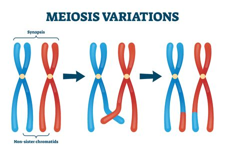 Meiosis variations vector illustration. Educational genetic cell division. Scheme with synapsis and non sister chromatids. Diagram with meiosis stages and duplication. Crossed over chromosomes example
