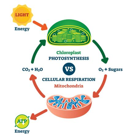 Chloroplast vs mitochondria process educational scheme vector illustration. Labeled photosynthesis and cellular respiration interaction diagram. Graphic with green plant chemical formula or ATP energy