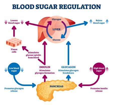 Ilustración de vector de regulación de azúcar en sangre. Esquema de ciclo de proceso etiquetado. Diagrama educativo de hígado y páncreas con captación y degradación de estimulación de glucosa. Infografía de explicación de liberación de insulina. Ilustración de vector