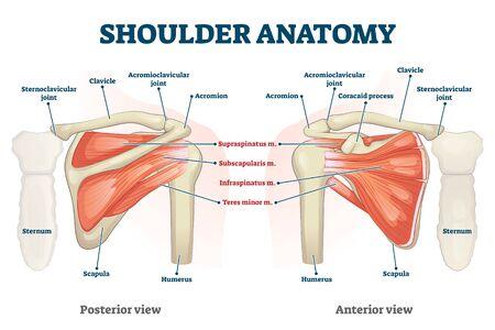 Illustration vectorielle de l'anatomie de l'épaule. Squelette interne étiqueté et schéma de structure musculaire. Vue postérieure ou antérieure physiologique éducative avec titres et localisation des os. Description des organes sains