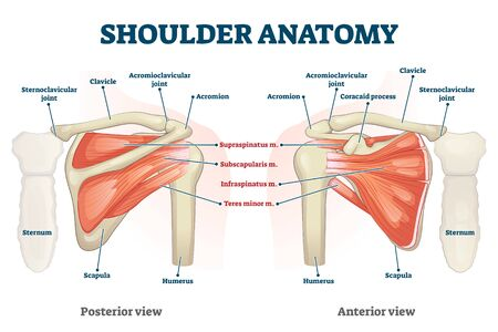 Shoulder anatomy vector illustration. Labeled inner skeleton and muscle structure scheme. Physiological educational posterior or anterior view with bones titles and location. Healthy organ description
