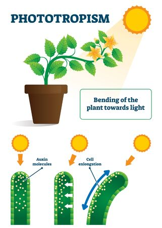 Phototropism vector illustration. Labeled plants bending towards sun light scheme. Biological process explanation with auxin molecules and cell enlongation. Educational model with response to stimulus