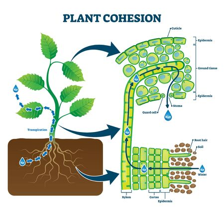 Plant cohesion vector illustration. Labeled water upward motion explanation with educational scheme. Biological structure diagram with xylem, cortex, epidermis and ground tissue cross section view. Vektorgrafik
