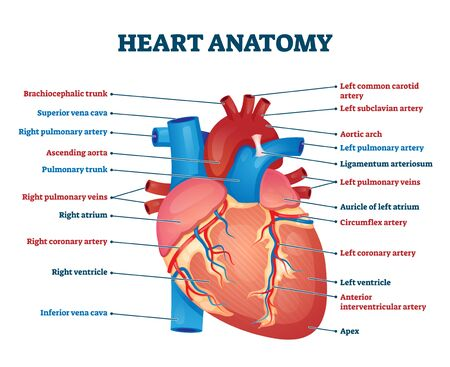 Heart anatomy vector illustration. Labeled organ structure educational scheme. Internal body medical physiology with artery, arch, veins, cava, trunk and atrium parts. Biological handout information.
