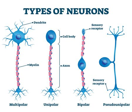 Types of neurons vector illustration. Labeled anatomical nerve parts comparison scheme. Synapses receptors educational closeup with multipolar, unipolar, bipolar and pseudounipola sensory receptors.