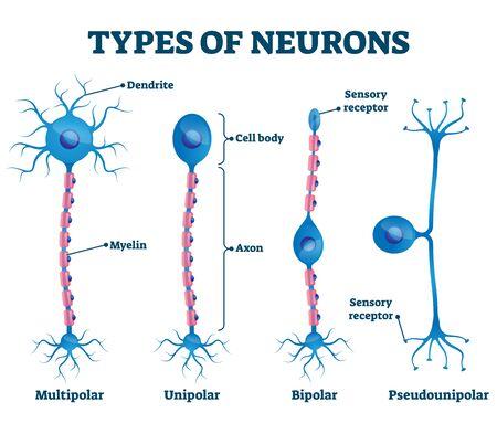 Types of neurons vector illustration. Labeled anatomical nerve parts comparison scheme. Synapses receptors educational closeup with multipolar, unipolar, bipolar and pseudounipola sensory receptors. Illustration