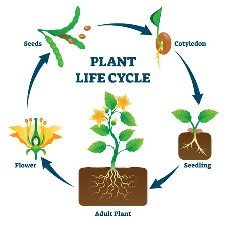 Plant life cycle vector illustration. Labeled educational development scheme with seeds, cotyledon, seedling, flower and adult example. Biology basics with reproduction explanation diagram drawing. Ilustração