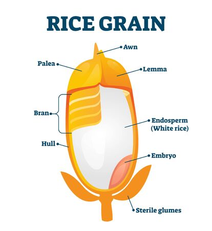 Rice grain vector illustration. Labeled educational structure description. Biological scheme with inner layers of agricultural product. Lemma, awn, palea, hull and bran as parts of raw healthy plant. Ilustración de vector