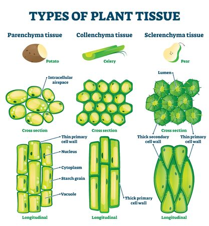 Types of plant tissue vector illustration.  イラスト・ベクター素材