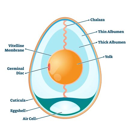 Egg structure vector illustration. Labeled educational anatomy info scheme.