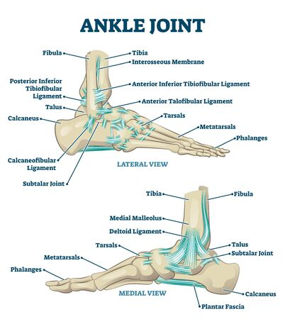 Ankle joint vector illustration. Labeled educational leg structure scheme. Physiological orthopedics explanation with isolated toe closeup. Cross section with phalanges, tibia, tarsals, ligament graph Ilustracja