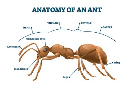 Ant anatomical structure vector illustration. Labeled biological body scheme. Educational description with zoological physiology study graphic. Thorax, petiole, gaster and mandibles parts location.