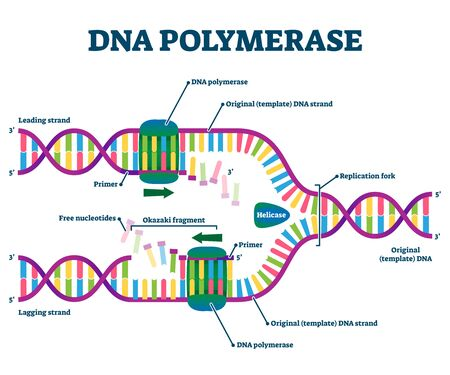 DNA Polymerase enzyme syntheses labeled educational vector illustration. Genetic chemistry and structural replication fragment scheme. Diagram with educational Okazaki, primer, and leading strand info  イラスト・ベクター素材
