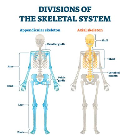 Divisions of appendicular and axial skeletal system labeled explanation. Anatomical human inside bone model scheme with comparing both internal examples. Medical description with structure diagram.