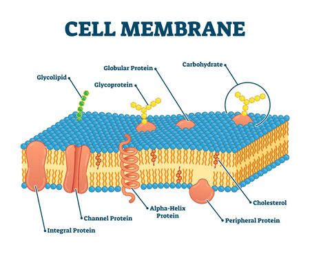 Cell membrane with labeled educational structure scheme vector illustration. Anatomical closeup drawing with cross section element. Carbohydrate, globular protein or cholesterol location visualization