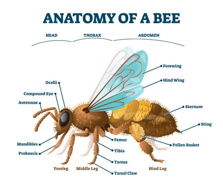 Anatomy of bee educational labeled body structure scheme vector illustration. Biological description with insect head, thorax and abdomen detailed parts names. Examination for zoology handout purpose.